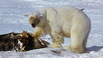 Белый медведь является самым большим арктическим животным, поэтому он не боится других зверей.