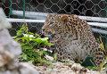 Самки переднеазиатского леопарда адаптировались в условиях Сочи.