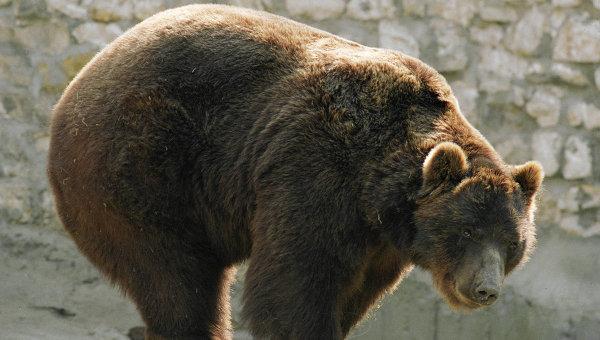Приманка для медведя.